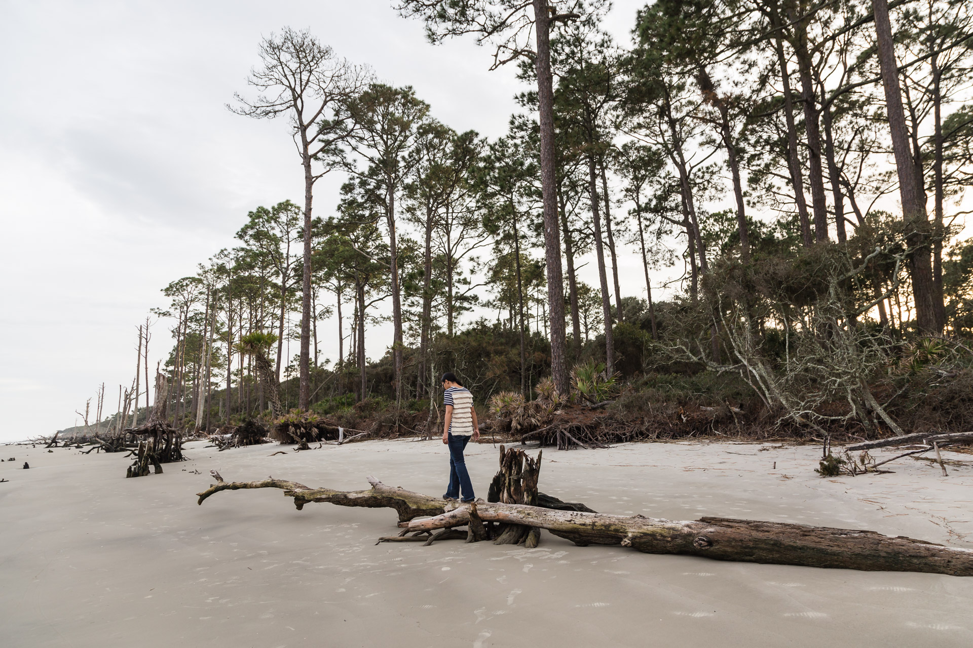 Drifting Along Driftwood Beach (walking tree)