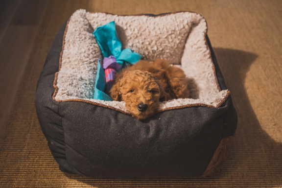 Meet Koda: Our New Poodle Puppy